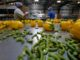 """Still from """"Migrant Dreams."""" Migrant workers pack vegetables. (CNW Group/TVO)"""